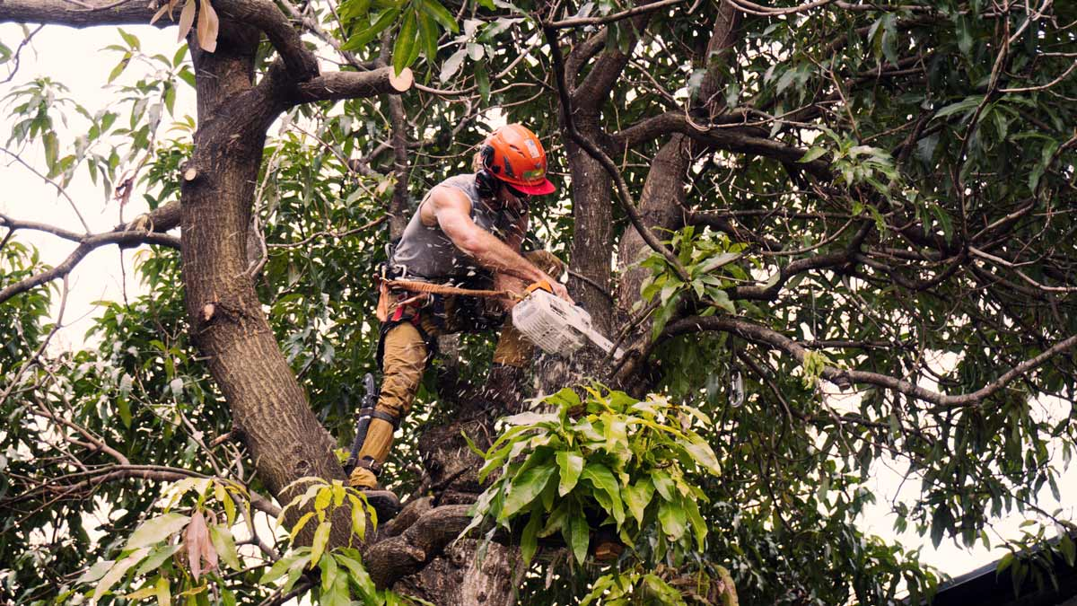 Man in tree trimming branch with chainsaw